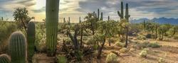 Panorama Desert Cactus - Saguaros and Cholla Cactus with a Mountain Background Of a Hazy Cloudy Sky.