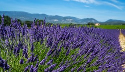Panorama field lavender morning summer background. Shallow depth of field. Travel to France. Deep blue sky. Gorgeous view over a South France landscape. Gordes, Vaucluse, Provence, France, Europe.
