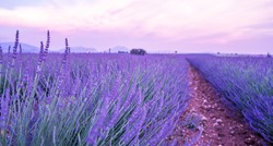 Panorama field lavender morning summer blur background. Spring lavender background. Flower background. Fhallow depth of field. Valensole lavender fields, Provence, France.