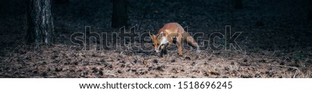 panorama. fox in woods among the trees. wild animal in the wild in evening in forest glade