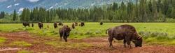 Panorama herd of American Bison (Bison Bison) or Buffalo Panoramic Web Banner