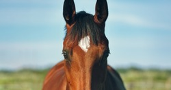 Panorama, horse looking straight forward, on a blurred background of sky and grass. Portrait of a bay gelding. Thoroughbred chestnut stallion. Horse head close up in the summer field.