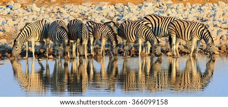 Panorama image of a herd of Zebra drinking at a waterhole in Etosha with water reflection