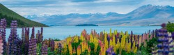 Panorama landscape at Lake Tekapo and lupine flower background in New Zealand. The flower field hit full bloom in December, summer season of New Zealand, giving a spectacular landscape of lake Tekapo.