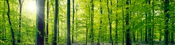 Panorama landscape of a beech forest in the springtime