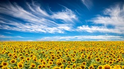 Panorama Landscape Of Sunflower fields And blue Sky clouds Background.Sunflower fields landscapes on a bright sunny day with patterns formed in natural background.