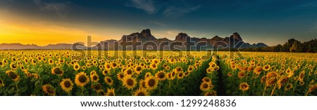 Panorama landscape of sunflowers blooming in the field., Beautiful scene of agriculture farming on mountain range background at sunset., Plantation of crop organic farm and countryside traveling. Foto stock ©