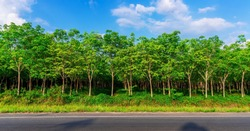 Panorama latex rubber plantation or para rubber tree or tree rubber with leaves branch in southern Thailand