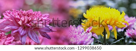 Panorama mix pics beautiful pink and yellow flowers in field backdrops. Close up bright floral of summer in field. Center of growing flower, free space for add texts, wallpaper, banner, desktop.