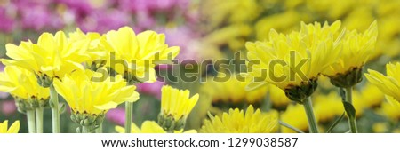 Panorama mix pics beautiful yellow flowers in field backdrops. Close up bright floral of summer in field. Center of growing flower, free space for add texts, wallpaper, banner, desktop, wide screen.