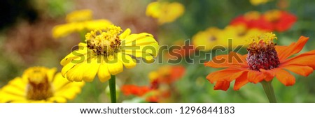 Panorama mixed pics beautiful yellow and orange flowers in field backdrops. Close up bright floral of summer in field. Center of growing flower, free space for add texts, wallpaper, banner, desktop.