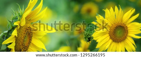 Panorama mixed pics beautiful yellow sunflowers in natural backdrop blooming close up petals. Bright floral of summer in nature field, pretty plant. for add text, wallpaper, banner, desktop.