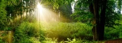 Panorama of a beautiful forest with big trees, glade, brook and bright sun rays through the fog