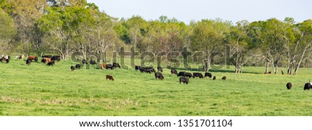 Panorama of a beef cattle herd in a lush, green pasture in early Spring.