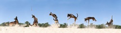 Panorama of A Belgian sheepdog or Malinois dog playing catch with a ball outdoors in a dune area