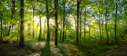 Panorama of a green forest of deciduous trees with the sun casting its rays of light through the foliage