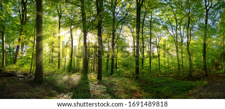 Panorama of a green forest of deciduous trees with the sun casting its rays of light through the foliage Foto d'archivio ©