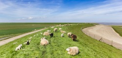 Panorama of a herd of sheep on a dike at the wadden sea in Friesland, Netherlands
