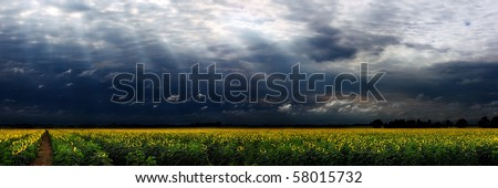 Panorama of a large sunflower field with moody sky