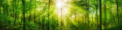 Panorama of a scenic forest of fresh green deciduous trees with the sun casting its rays of light through the foliage