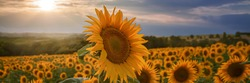Panorama of a sunflower in the sunflower field in front of a bea