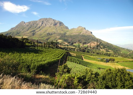 Panorama of a vineyard in the south of Franschhoek