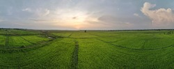 panorama of aerial view or bird eye view of agriculture in rice fields with sunset