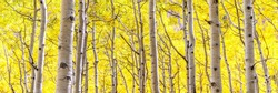 Panorama of aspen forest in peak autumn beauty with gold yellow leaves as far as the eye can see in Lockett Meadow, Flagstaff, Arizona. Aspens changing leaves in backlight