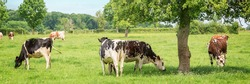 Panorama of black and white cows grazing on grassy green field in Normandy, France. Summer countryside landscape and pasture for cows