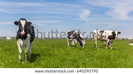 Panorama of black and white Holstein cows #640290790