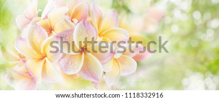 Panorama of blossoming Frangipani flower with color filter on soft pastel color in blur style for banner or cards background. Spring landscape of pink Plumeria flower. Bright colorful spring flowers