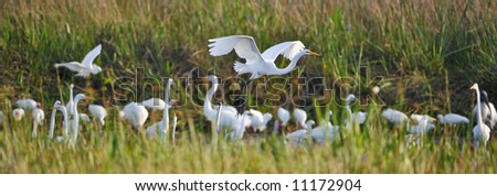 panorama of everglades wetland with egrets flocking