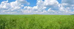 Panorama of field of green unripe rape oilseed on a cloudy blue sky background in summer. Unripe young and green rapeseed pods field, copy space
