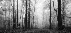 Panorama of Forest in Autumn, Black and White