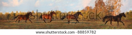 Panorama of four horses galloping at the field in autumn