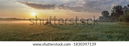 Panorama of grazing cows in a meadow with grass covered with dewdrops and morning fog, and in the background the sunrise in a small haze.