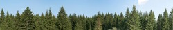 Panorama of green coniferous forest. Blue sky with a small cloud.
