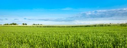 Panorama of green field and blue sky, grass in spring background, agricultural cereal crop