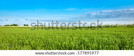 Panorama of green field and blue sky, grass in spring background, agricultural cereal crop #577895977
