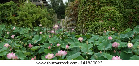 panorama of lotus flowers in the park Beijing (China) on the backdrop of a stone wall overgrown with ivy