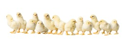 Panorama of many Young fluffy yellow Easter Baby Chickens standing Against White Background
