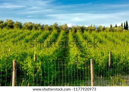 panorama of rows of vines in the vineyard in summer #1177920973