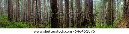 Panorama of tall Redwood trees surrounded by green ferns in a forrest
