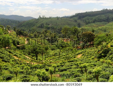 Panorama of tea plantaition in Sri Lanka in the sunshine day