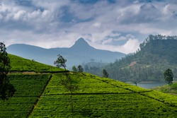 Panorama of tea plantation with Adams peak, Sri Pada, sacred buddhist mountain, Sri Lanka, travel destination