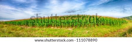 Panorama of the corn field. Vietnam