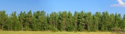 Panorama of the forest of pine trees, fir trees and shrubs. Blue sky with cloud. Concept - summer landscape for decoration.