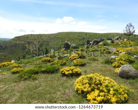 Panorama of the rugged terrain of Lozere with yellow flowers burst into bloom and naturally eroded boulders and rocks in southern France