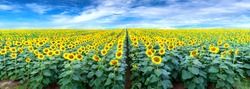Panorama of the sunflower fields and a beautiful sky to welcome the new day of peace