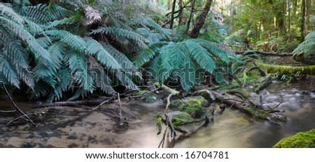 Panorama of tree ferns on the banks of a rainforest river.  Yarra Ranges, Victoria, Australia.